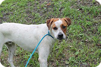 Boxer/Cattle Dog Mix Dog for adoption in Pittsburg, Kansas - Ceasar