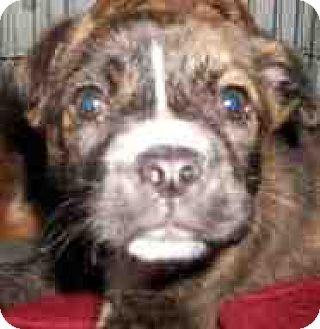 Boston Terrier Mix Dog for adoption in Fort Walton Beach, Florida - Clementine