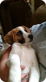 Collie Mix Puppy for adoption in Cincinnati, Ohio - Sampson