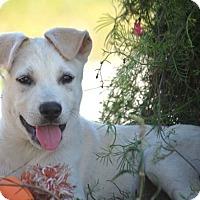 Adopt A Pet :: *Pine - PENDING - Westport, CT