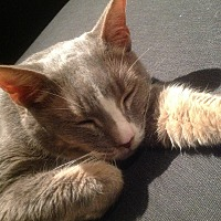 Domestic Shorthair Cat for adoption in New York, New York - Gradie