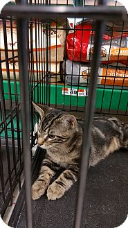 Domestic Shorthair Kitten for adoption in Eastpointe, Michigan - Grumpy