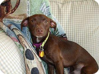 Chihuahua/Dachshund Mix Dog for adoption in Bloomington, Illinois - Hershey