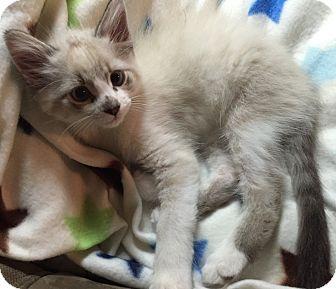 Snowshoe Kitten for adoption in Cerritos, California - Snow