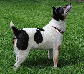 Rat Terrier Mix Dog for adoption in AUR, Illinois - Tippy