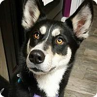 Adopt A Pet :: Nola - Clearwater, FL
