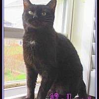 Adopt A Pet :: Velvet - Culpeper, VA