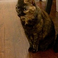 Calico Cat for adoption in Rowlett, Texas - Sassy
