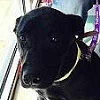 Labrador Retriever Mix Puppy for adoption in ST LOUIS, Missouri - Jacque