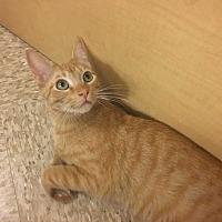 Domestic Shorthair Cat for adoption in Marina del Rey, California - Rusty
