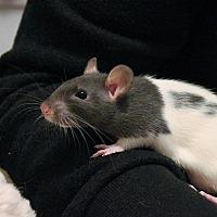 Adopt A Pet :: Tater Tot - Saanichton, BC