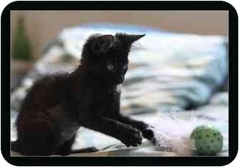 Domestic Shorthair Kitten for adoption in Davis, California - Daisy