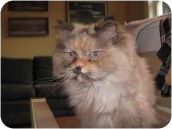 Himalayan Cat for adoption in Seattle, Washington - Ginger