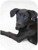 Labrador Retriever Mix Puppy for adoption in Broomfield, Colorado - Haley