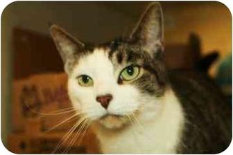 Domestic Shorthair Cat for adoption in Walker, Michigan - Steve