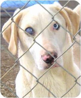 Labrador Retriever Mix Dog for adoption in Pawling, New York - CY