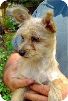 Cairn Terrier/Terrier (Unknown Type, Small) Mix Puppy for adoption in Duluth, Georgia - Marcie