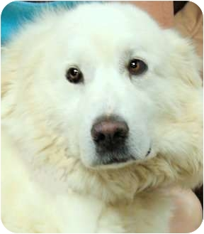 Great Pyrenees Dog for adoption in Pawling, New York - HEIDI(GORGEOUS)