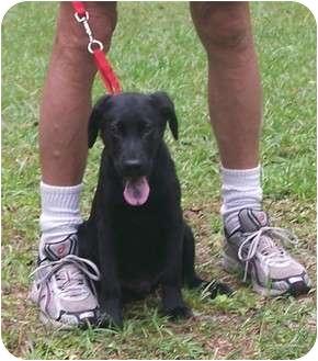 Labrador Retriever Mix Puppy for adoption in Little River, South Carolina - SHANE