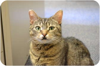 Domestic Shorthair Cat for adoption in Chicago, Illinois - Ocee