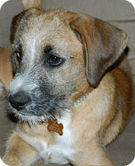 Terrier (Unknown Type, Small)/Jack Russell Terrier Mix Puppy for adoption in Conesus, New York - Gigi