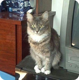 Manx Kitten for adoption in bridgeport, Connecticut - Kali