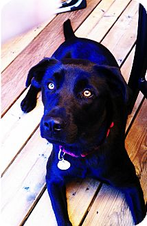 Labrador Retriever Mix Dog for adoption in Minneapolis, Minnesota - Summer