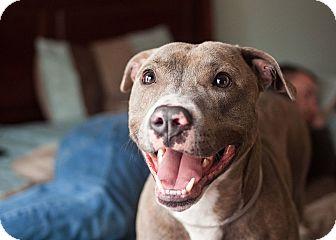 American Staffordshire Terrier Dog for adoption in Long Beach, New York - Benji