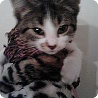 Adopt A Pet :: Boo hoo (cuddler) - Sterling Hgts, MI