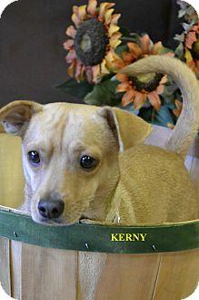 Labrador Retriever/Chihuahua Mix Dog for adoption in Higley, Arizona - KEARNY