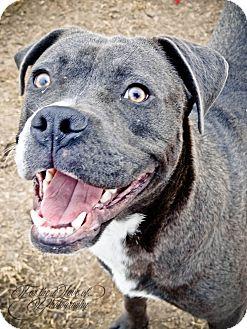 Pit Bull Terrier/Boxer Mix Dog for adoption in Grand Prairie, Texas - Smokey