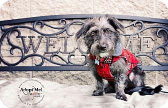Terrier (Unknown Type, Small)/Schnauzer (Miniature) Mix Dog for adoption in Pleasanton, California - Harvey
