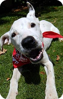 Dalmatian Mix Dog for adoption in Vancouver, Washington - Scout