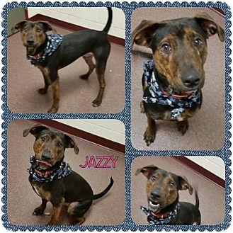 Plott Hound/Labrador Retriever Mix Dog for adoption in Louisburg, North Carolina - Jazzy