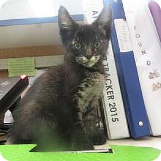 Domestic Shorthair Kitten for adoption in Janesville, Wisconsin - Claude