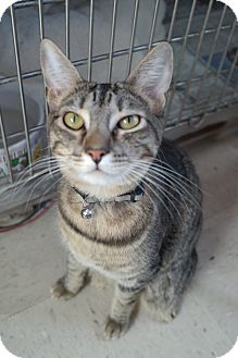 Domestic Shorthair Cat for adoption in San Pablo, California - BLUEBELL