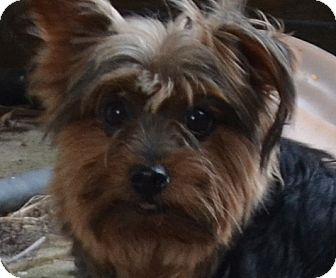 Yorkie, Yorkshire Terrier Dog for adoption in Westfield, Indiana - Dolly