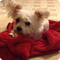 Adopt A Pet :: Linus - Gilbert, AZ