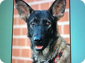 German Shepherd Dog Mix Puppy for adoption in Los Angeles, California - MITZI VON MUNSENBERG