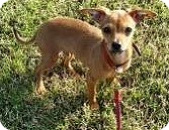 Chihuahua/Dachshund Mix Puppy for adoption in Weatherford, Texas - Buster Brown