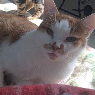 Domestic Shorthair Cat for adoption in Montreal, Quebec - Freckles