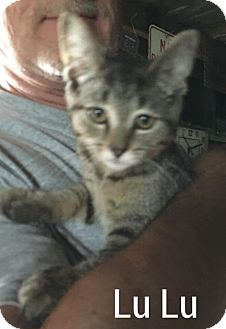 Domestic Shorthair Cat for adoption in Caro, Michigan - Lu Lu