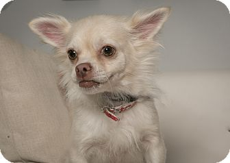 Pomeranian/Chihuahua Mix Dog for adoption in Inglewood, California - Dolce