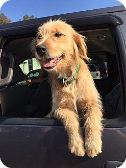 Golden Retriever/Wheaten Terrier Mix Dog for adoption in Baltimore, Maryland - Goldie