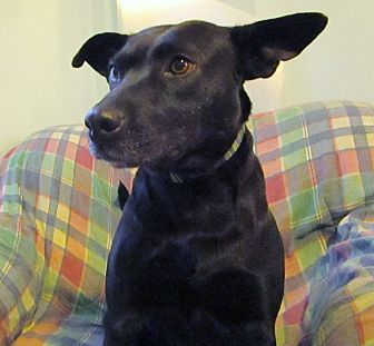 Labrador Retriever/Carolina Dog Mix Dog for adoption in Melbourne, Arkansas - Pepper