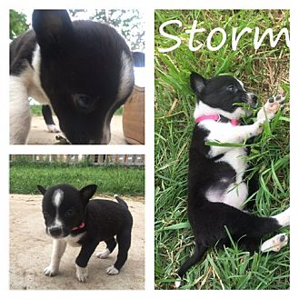 Border Collie/American Pit Bull Terrier Mix Puppy for adoption in White Settlement, Texas - Storm
