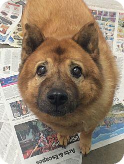Chow Chow/Shiba Inu Mix Dog for adoption in Oak Ridge, New Jersey - Bella-Bear