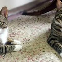 Adopt A Pet :: Bailey & Celeste - Westwood, NJ
