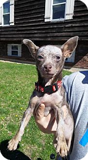 Miniature Pinscher/Chihuahua Mix Dog for adoption in St Louis, Missouri - Nucci