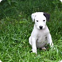 Adopt A Pet :: Shay - South Dennis, MA